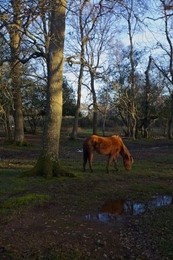 New Forest Pony © Derek Fogg - British Landscapes Photography